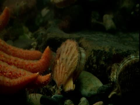 A sunflower seastar disturbs a scallop that swims away.