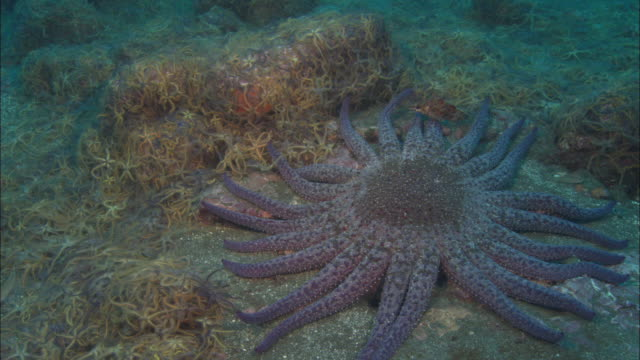Sunflower seastar (Pycnopodia helianthoides) feeds on brittle stars (Ophiurida) on sea bed, California, USA