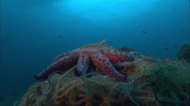 Sunflower seastar (Pycnopodia helianthoides) feeds on brittle stars (Ophiurida) on sea bed, California, USA