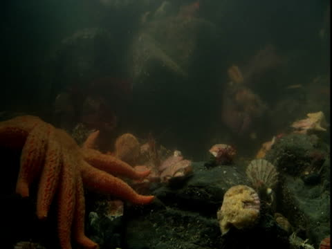 A sunflower seastar inches toward a bed of scallops.