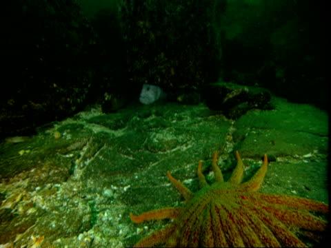 A sunflower seastar moves over the ocean floor toward a wolf eel hiding under a rock.