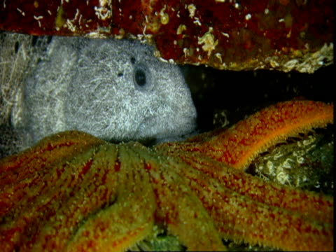A sunflower seastar moves past a wolf eel hiding under a rock.