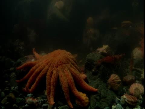 A sunflower seastar moves slowly toward scallops on the ocean floor.