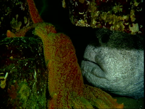 A sunflower seastar moves up a rock in front of a wolf eel hiding under a rock.