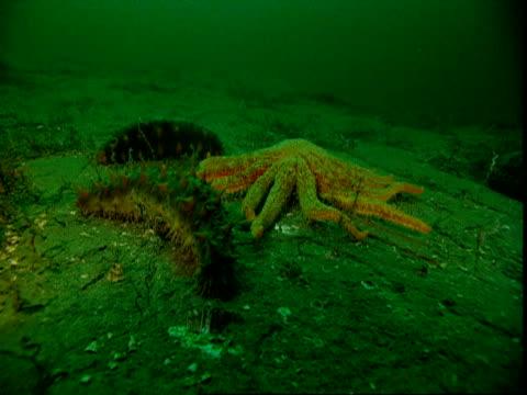 A sunflower seastar preys on a sea cucumber on the ocean floor.