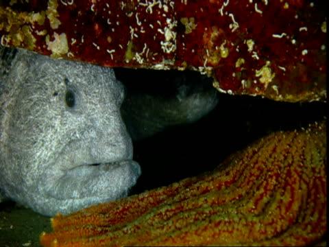A sunflower seastar rests near a grey wolf eel hiding under a rock.