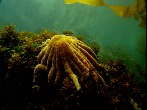 A sunflower seastar rests on the ocean floor.