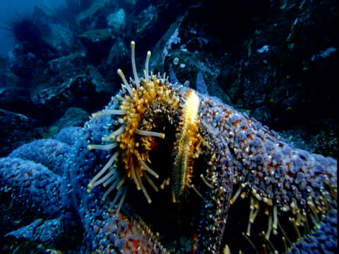 A sunflower seastar unfurls the tube feet from its long arms.
