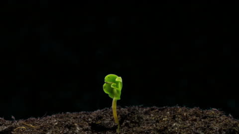 sunflower seed growing, black background, time lapse - seed stock videos & royalty-free footage
