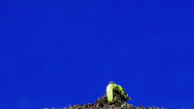 sunflower seed growing, blue screen time lapse - germinating stock videos & royalty-free footage