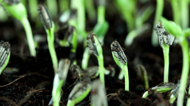 Sunflower seed plant germinating growing in soil