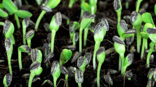 Sonnenblumenkern Pflanze Auskeimen wachsen im Boden