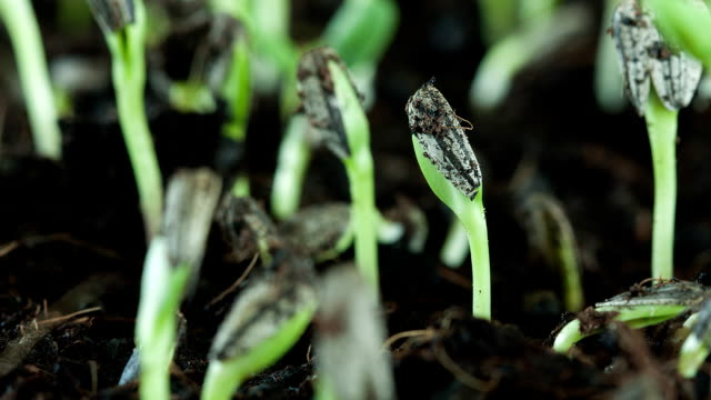 ZO Sunflower seed plant germinating growing in soil