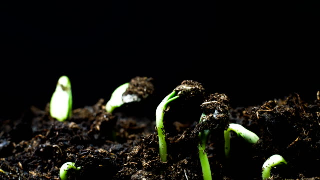 vídeos de stock e filmes b-roll de sunflower seedling black background time lapse - semente