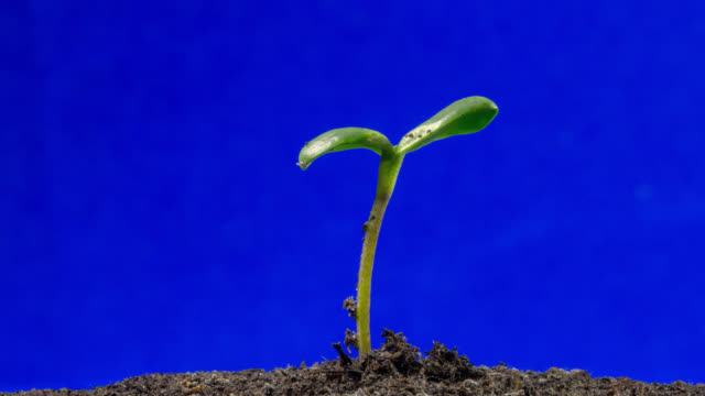 vídeos de stock, filmes e b-roll de sunflower seedling growing, blue screen side shot - planta nova