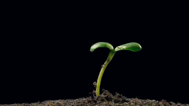 Sunflower seedling growing, side shot