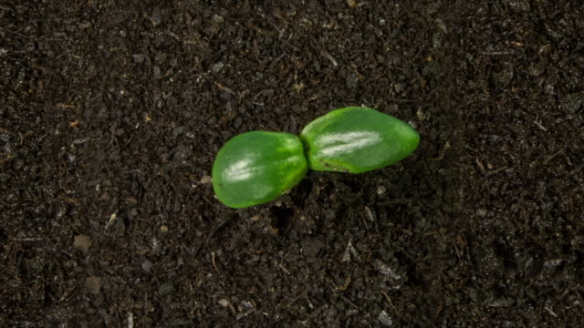 vídeos de stock, filmes e b-roll de sunflower seedling growing, top shot - planta nova