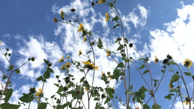sunflower sky