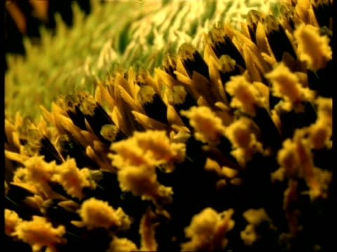 t/l bcu sunflower stamens opening, goes out of focus - stamen stock videos & royalty-free footage