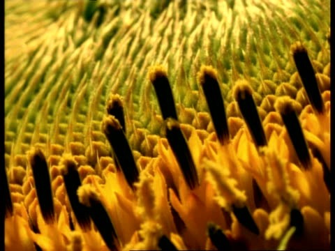 t/l - bcu sunflower stamens opening - sunflower stock videos and b-roll footage