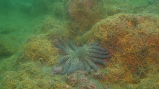 A sunflower starfish crawls through a mass of brittle stars on the ocean floor. Available in HD.