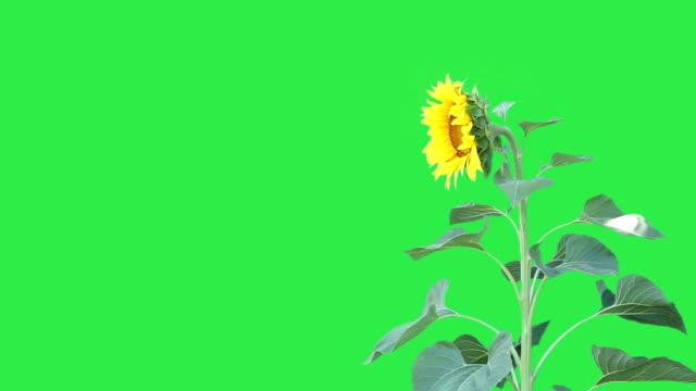 vídeos y material grabado en eventos de stock de girasol ondulantes en la brisa, sobre fondo verde. 1080 p, - césped