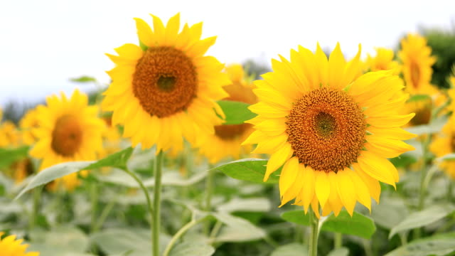 sunflower swinging with the wind - natural pattern stock videos & royalty-free footage