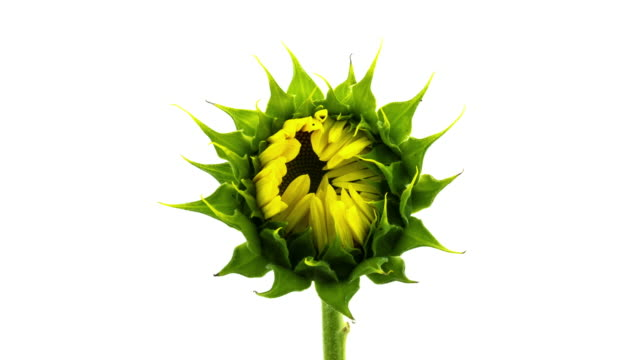 sunflower time lapse - flower stock videos & royalty-free footage