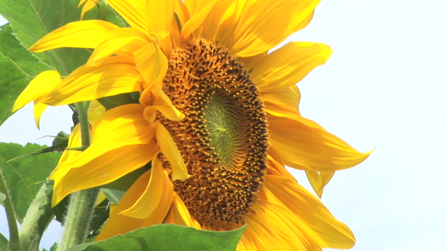 hd: sunflower - monoculture stock videos & royalty-free footage