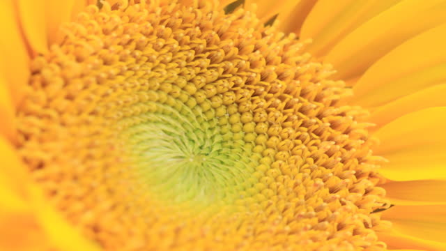 sunflower - sunflower stock videos & royalty-free footage