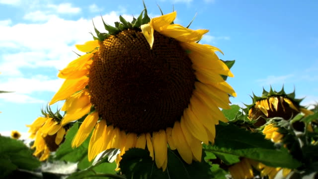 sunflower - common sunflower stock videos & royalty-free footage
