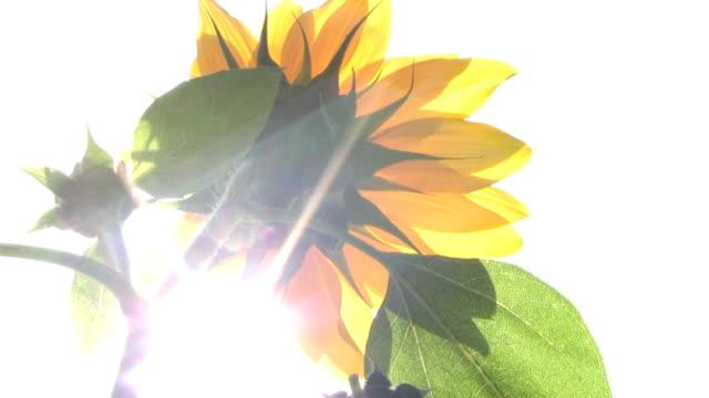 HD: Sonnenblume