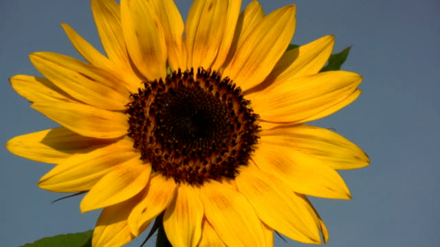 hd: sunflower - pot plant stock videos & royalty-free footage