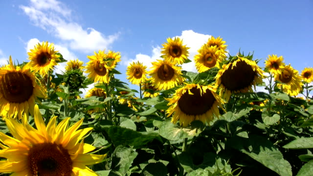 hd: sunflower - pot plant stock videos and b-roll footage