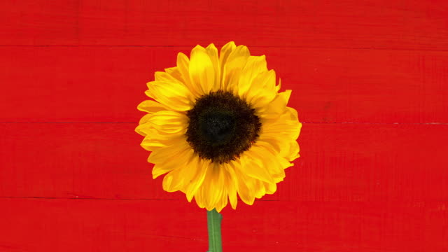 sunflower - sunflower stock videos and b-roll footage