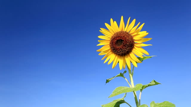 sunflower. - sunflower stock videos and b-roll footage