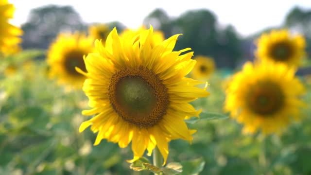 CU/sunflower