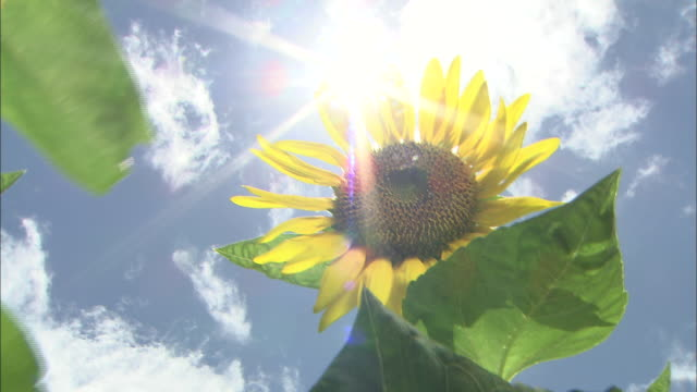 vídeos de stock, filmes e b-roll de a sunflower waves in a breeze beneath a bright blue sky. - girassol