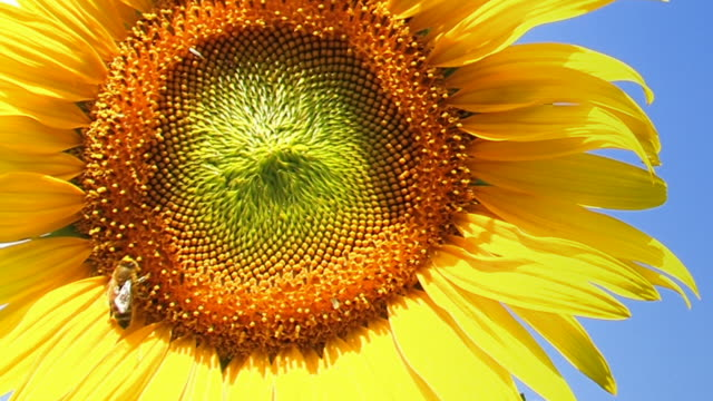 sunflower with a bee - wolkenloser himmel stock videos and b-roll footage