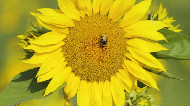 sunflower with a bumblebee - pollination stock videos & royalty-free footage