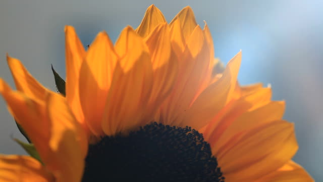 Sunflower with a moving sunbeam