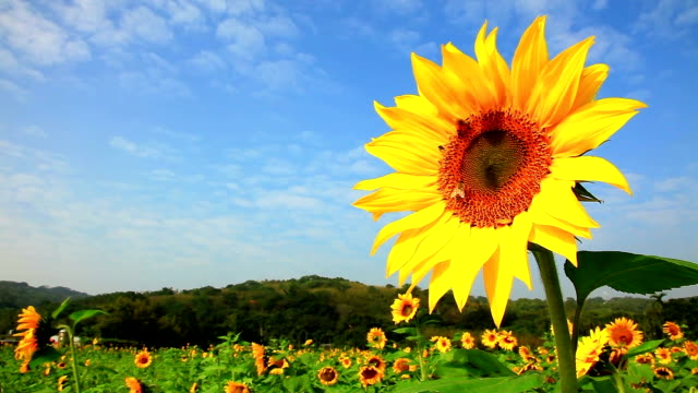 Sunflower with bee flying