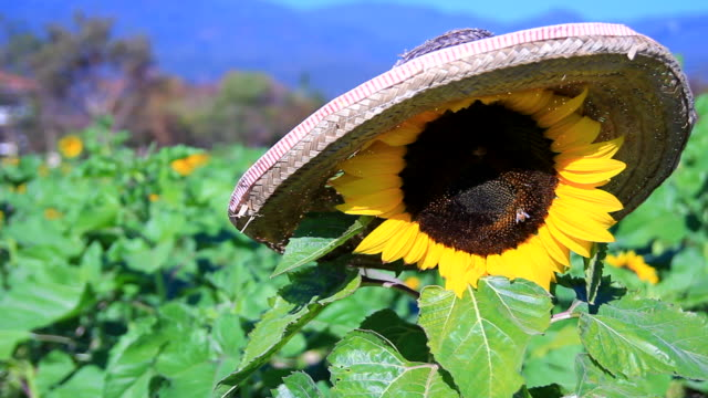 sunflower with bee - common sunflower stock videos & royalty-free footage