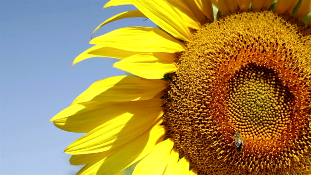 sunflower with honey bee - common sunflower stock videos & royalty-free footage