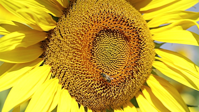 sunflower with honey bees - common sunflower stock videos & royalty-free footage