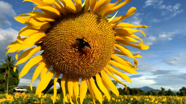 Sunflower with sky background, 4K.