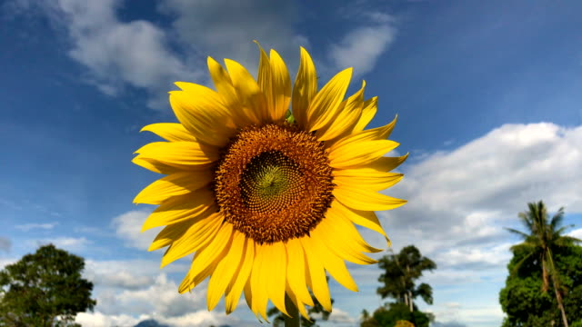 sunflower with sky background, 4k. - sunflower stock videos and b-roll footage