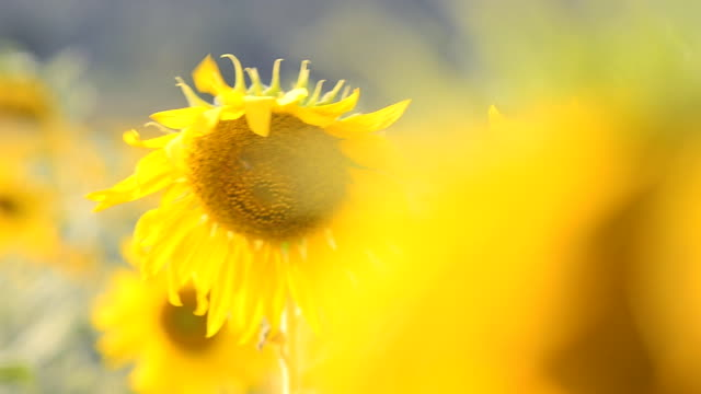 sunflowers behind sunflower - common sunflower stock videos & royalty-free footage