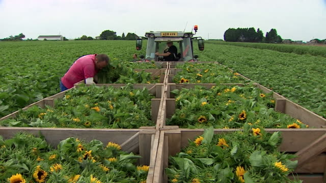 sunflowers being harvested on fen farm - fen stock videos and b-roll footage