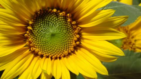 tl sunflowers bloom in field, uk - flower head stock videos & royalty-free footage